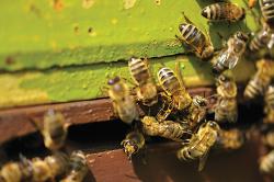 swarm bees
