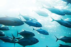 swarm tuna